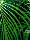 Zieleń pinnately dwuczłonowych liści Palmowy liść zdjęcia royalty free