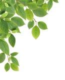 zieleń rabatowi liść zdjęcie royalty free