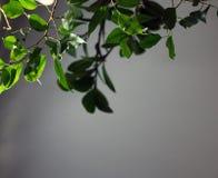 Zieleń rozgałęzia się z liśćmi w świetle słonecznym na szarym tle, zbliżenie fotografia royalty free