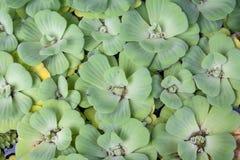 zieleń spławowi liść Zdjęcie Royalty Free
