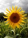 Zieleń yellow charcica fotografia stock