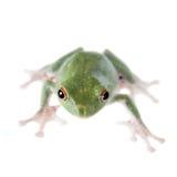 Zieleń z powrotem lata drzewnej żaby na bielu Obraz Royalty Free