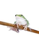 Zieleń z powrotem lata drzewnej żaby na bielu Zdjęcia Royalty Free