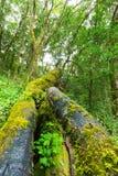Zieleń zakrywający drzewni bagażniki Obraz Royalty Free