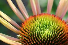 Zieleń ześrodkowywający szyszkowy kwiat Obraz Stock