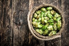 Zieleń chmiel dla piwa w drewnianym wiadrze Fotografia Stock