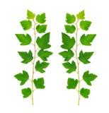 zieleń gałęziaści liść Zdjęcia Stock