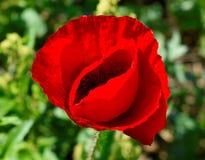 Ziele? i czerwony kwiat obrazy royalty free
