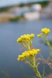 Ziele kwitnie Helichrysum Obraz Stock