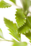 zieleń liść Obraz Stock