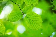 zieleń liść Zdjęcia Royalty Free