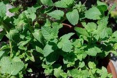 ziele mennicy roślina Zdjęcia Royalty Free