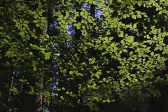ZIELEŃ OPUSZCZA drzewa Obrazy Stock