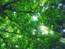 Zieleń opuszcza drzewa Obraz Stock