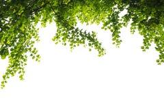 Zieleń opuszcza drzewa na odosobnionym tle robi dla ramowego produktu zdjęcia stock