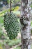 Zieleń textured guanabana owoc z drzewem Obraz Stock