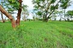 Zieleni łąkowi i zieleni drzewa w polu Fotografia Stock