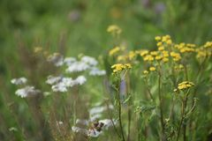 Zieleni łąkowi koloru żółtego i białych szerokość kwiaty Promienie słońce jaśnieją łąkę obrazy royalty free