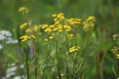 Zieleni łąkowi szerokość koloru żółtego kwiaty Promienie słońce jaśnieją łąkę obraz stock
