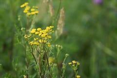 Zieleni łąkowi szerokość koloru żółtego kwiaty Promienie słońce jaśnieją łąkę zdjęcia stock