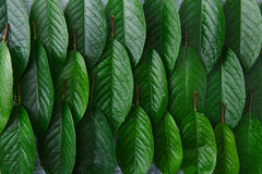 Zieleni świezi liście czereśniowy drzewo deseniują tło Fotografia Royalty Free