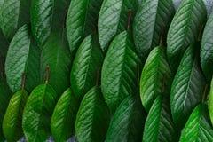Zieleni świezi liście czereśniowy drzewo deseniują tło Zdjęcia Royalty Free