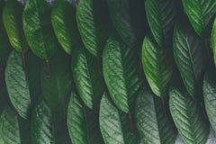 Zieleni świezi liście czereśniowy drzewo deseniują tło Obraz Stock