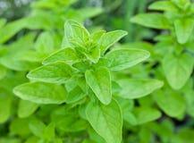 Zieleni świezi majerankowi ziele zdjęcie stock