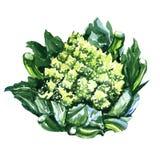 Zieleni Świezi romanesco brokuły lub Romański kalafior, royalty ilustracja