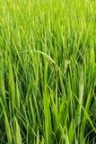 Zieleni świezi ryż pola Fotografia Stock