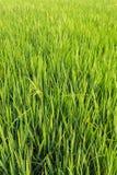 Zieleni świezi ryż pola Zdjęcie Royalty Free