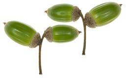 Zieleni acorns ziarna Zdjęcie Stock