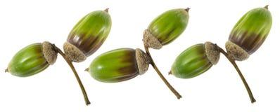 Zieleni acorns ziarna Obrazy Stock