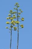 Zieleni agawa kwiaty Zdjęcie Royalty Free