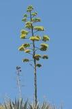 Zieleni agawa kwiaty Fotografia Royalty Free