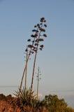 Zieleni agawa kwiaty Fotografia Stock