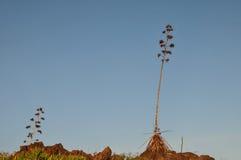 Zieleni agawa kwiaty Obrazy Stock