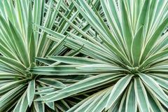 Zieleni agawa liście Obrazy Royalty Free