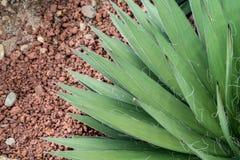 Zieleni agawa liście Zdjęcie Royalty Free