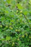 Zieleni agresty na gałąź w ogródzie Zdjęcie Stock