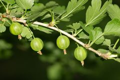 Zieleni agresty na naturze Makro- Zdjęcie Stock