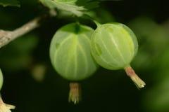 Zieleni agresty na naturze Makro- Zdjęcie Royalty Free