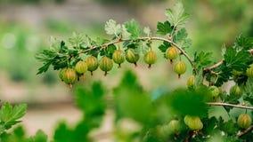 Zieleni agresty Narastający Organicznie jagody zbliżenie Na gałąź Zdjęcie Stock
