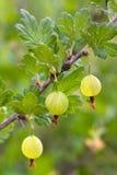Zieleni agresty w ogródzie Fotografia Stock