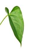 Zieleni anthurium odosobniony liść odizolowywający na bielu Zdjęcia Stock
