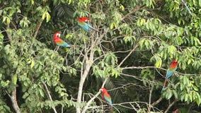 Zieleni ar aronów chloropterus na gałęziastym boju w Manu parku narodowym, Peru, papugi zbiera blisko glinianego liźnięcia zbiory wideo