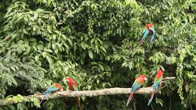Zieleni ar aronów chloropterus na gałęziastym boju w Manu parku narodowym, Peru, papugi zbiera blisko glinianego liźnięcia zbiory