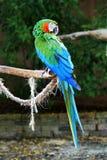 zieleni błękitny kolorowa papuga fotografia royalty free
