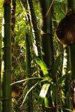 zieleni bambusów bagażniki Obrazy Stock