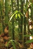 zieleni bambusów bagażniki Zdjęcie Royalty Free